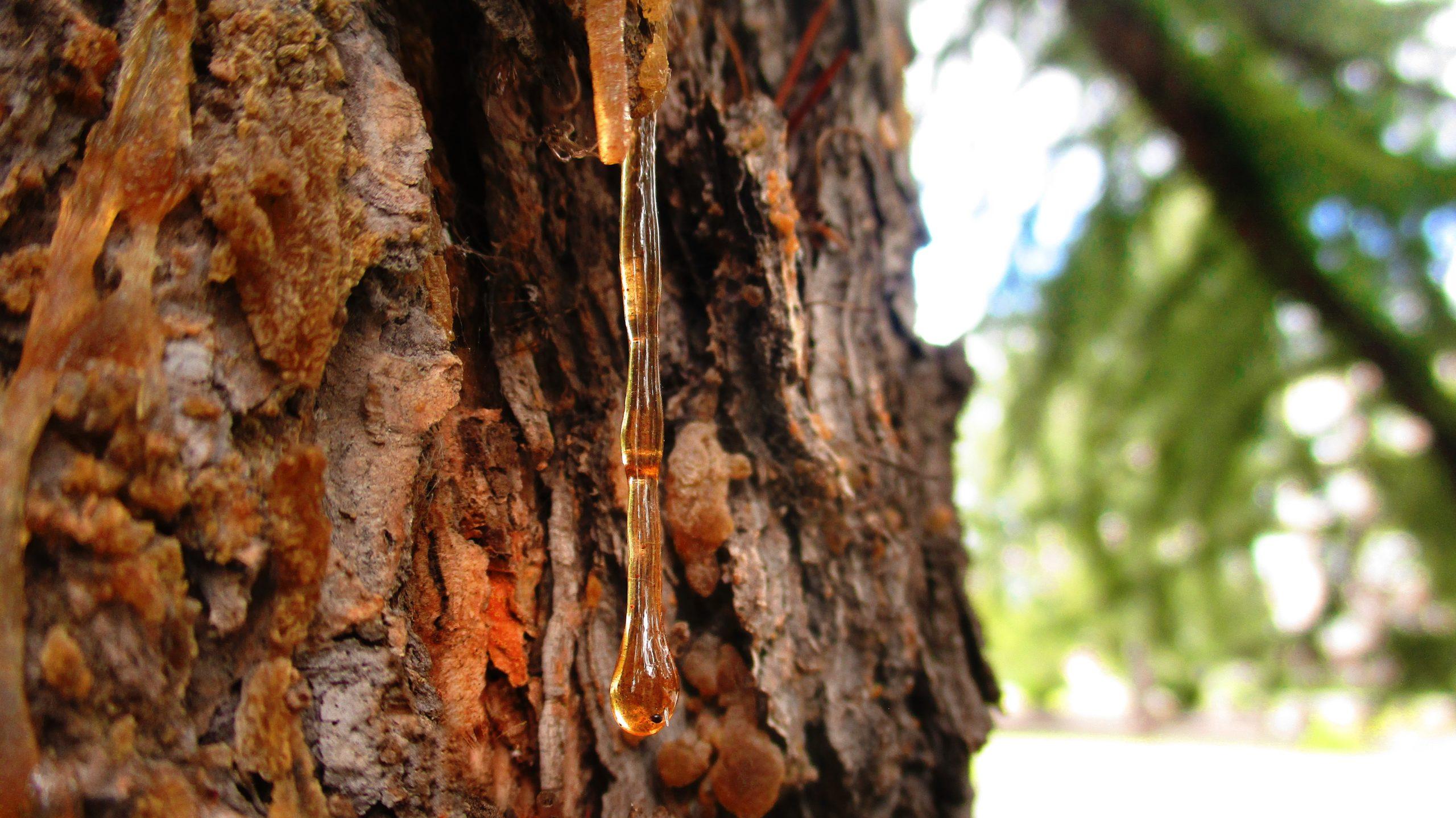Die Harzperlen am Baumstamm