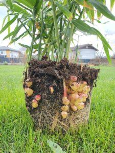 Ingwer bereit zur Ernte.