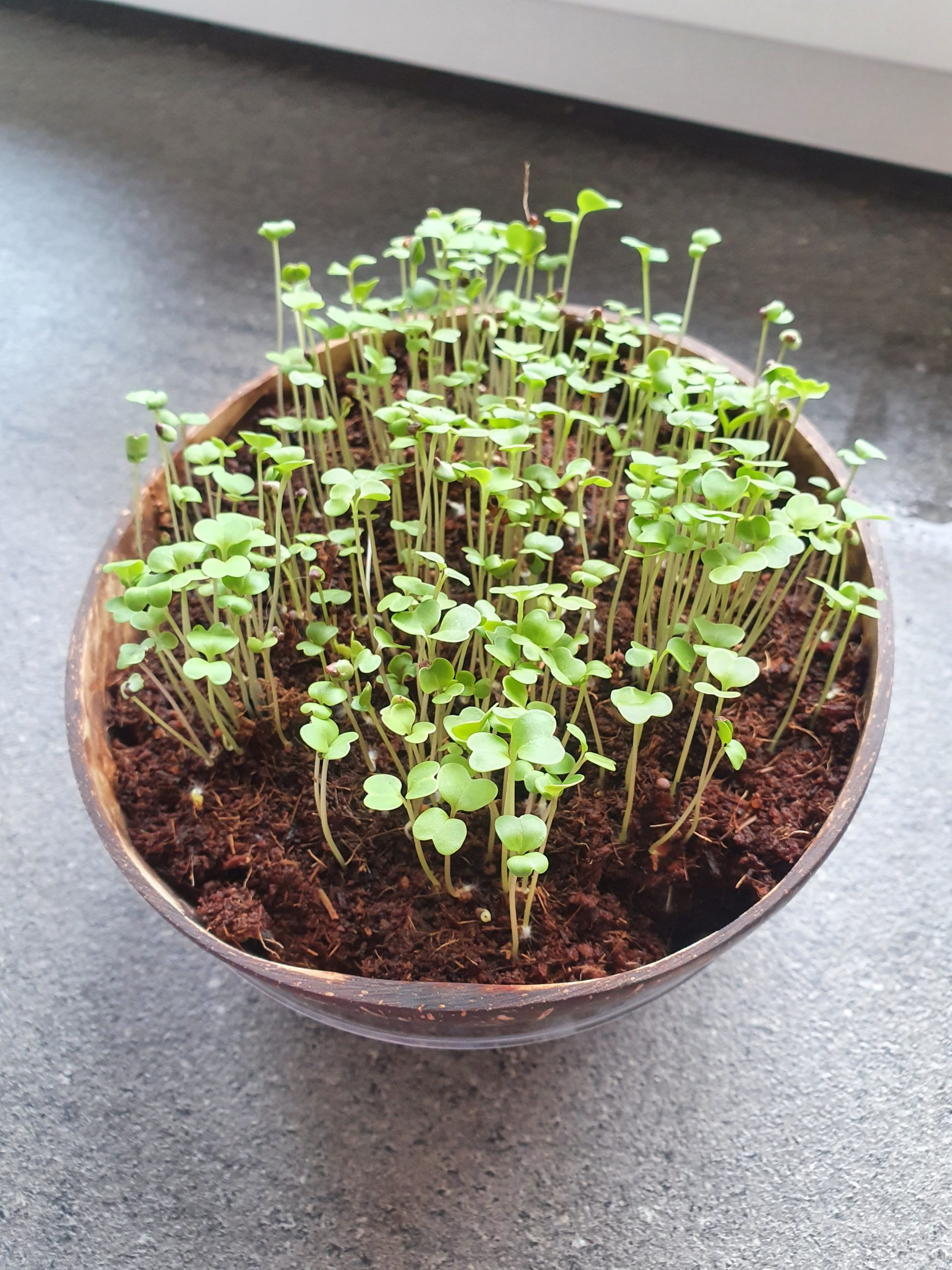 Die Grow Grow Nut mit Brokkoli Microgreens